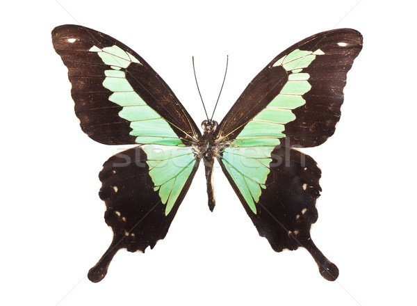 Butterfly Papilio Palinurus Stock photo © sailorr