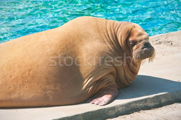 морж жира морем млекопитающее зоопарке Сток-фото © sailorr