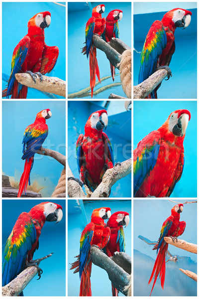 Ara parrots Stock photo © sailorr