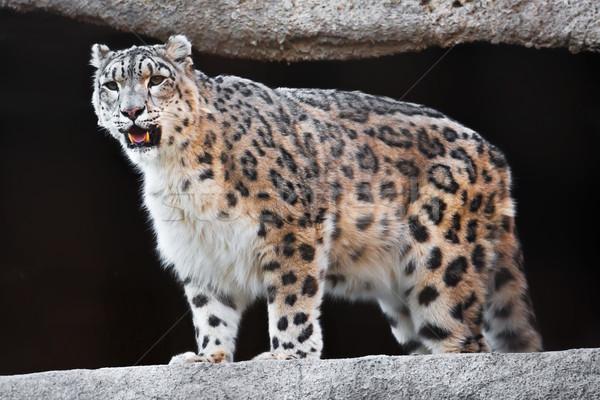 Kar leopar güzel fotoğraf nadir Stok fotoğraf © sailorr
