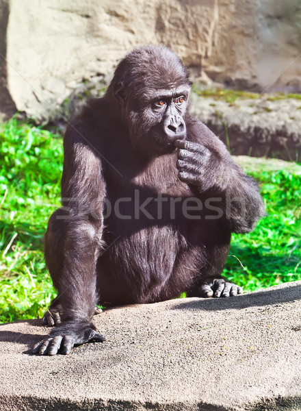 Gorilla Stock photo © sailorr