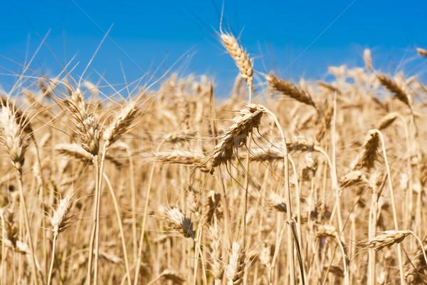 Campo di grano bella cielo blu sole natura Foto d'archivio © sailorr