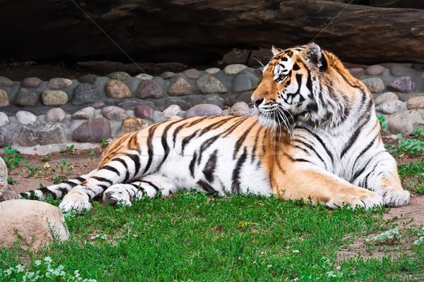 Tiger Stock photo © sailorr