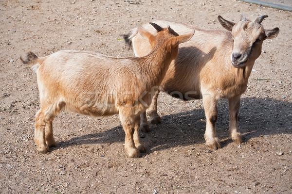 Goats Stock photo © sailorr