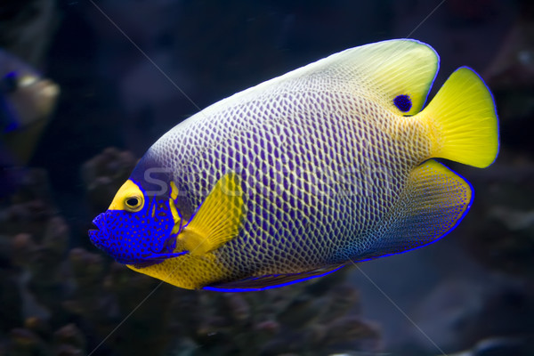 Angelfish Stock photo © sailorr