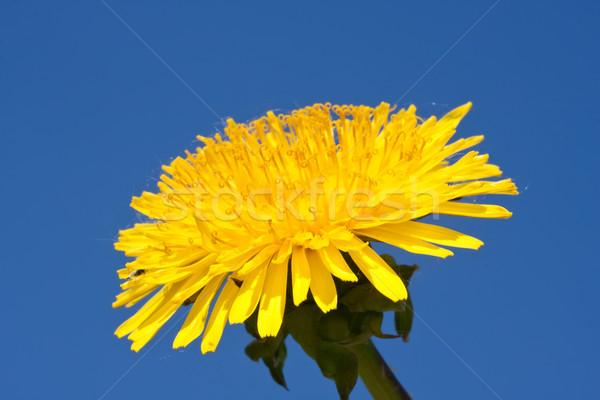 одуванчик красивой ярко желтый цветок весны Сток-фото © sailorr