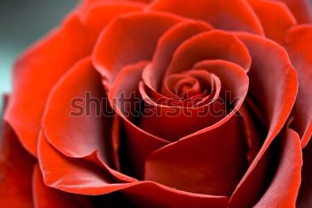 Red Rose Stock photo © sailorr