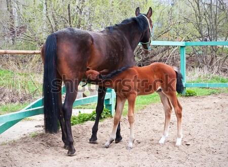 Horse Stock photo © sailorr