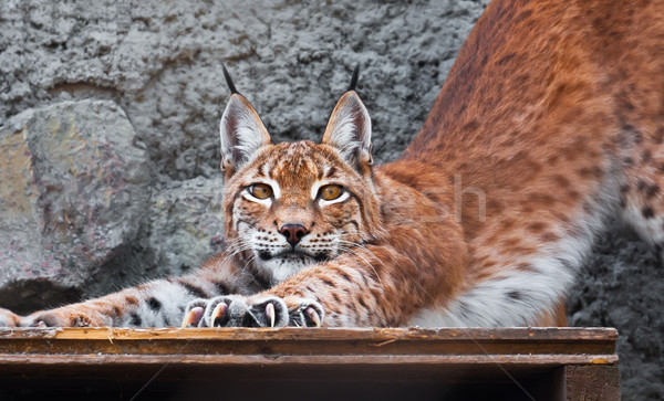 Lynx Stock photo © sailorr