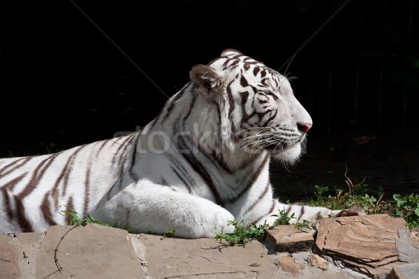 белый тигр красивой портрет Сток-фото © sailorr