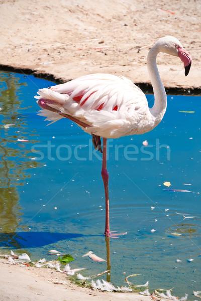 Flamingo bella americano acqua zoo lago Foto d'archivio © sailorr