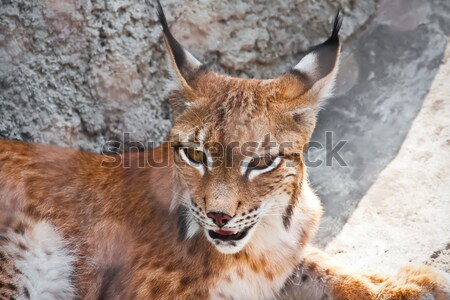 Lince belo foto gracioso big cat árvore Foto stock © sailorr