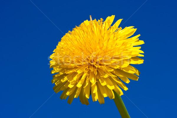 Dandelion belo brilhante amarelo flor primavera Foto stock © sailorr
