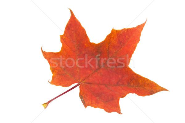 Maple Leaf красивой изолированный белый оранжевый золото Сток-фото © sailorr