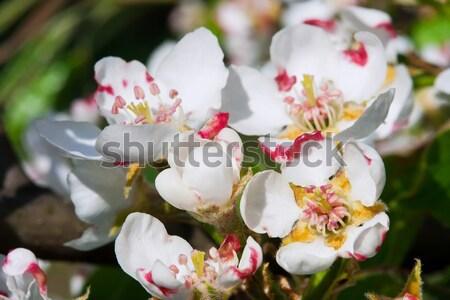 Cherry Stock photo © sailorr