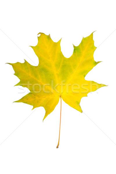 Maple Leaf красивой изолированный белый золото цвета Сток-фото © sailorr