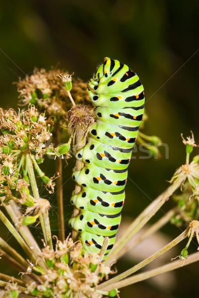 Hernyó szép makró fotó nagy zöld Stock fotó © sailorr