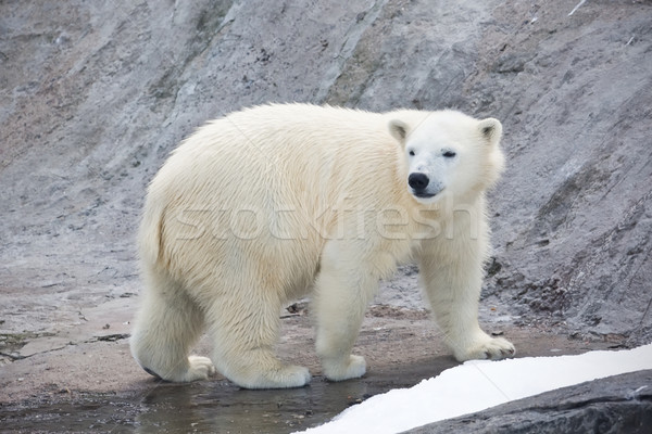 Ours polaire Nice photo cute blanche nature Photo stock © sailorr