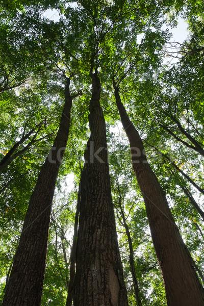 Verde foresta bella foto albero Foto d'archivio © sailorr