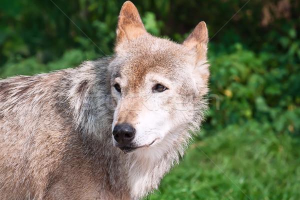 волка Nice портрет серый собака Сток-фото © sailorr