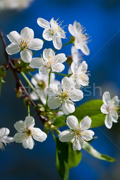 Manzana flores hermosa primavera flor cereza Foto stock © sailorr