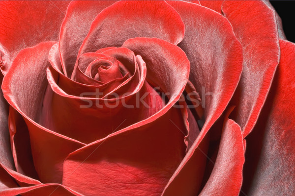 Stock photo: Magnificent red rose