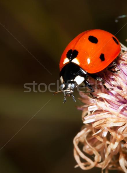 Коровка макроса фото ошибка цветок фон Сток-фото © sailorr