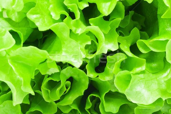 Lettuce Stock photo © sailorr
