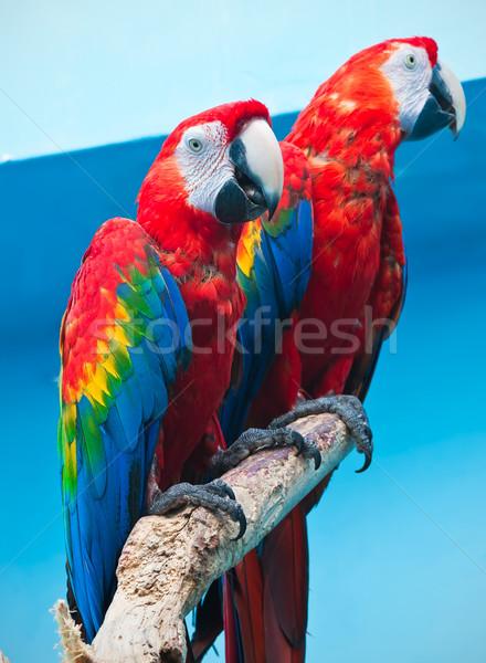 Ara parrot Stock photo © sailorr
