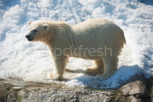 Jegesmedve szép fotó aranyos fehér természet Stock fotó © sailorr
