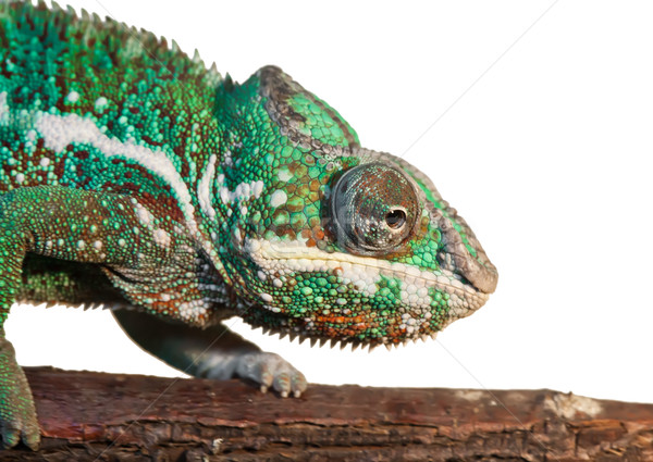 Pantera camaleón hermosa foto lagarto Foto stock © sailorr