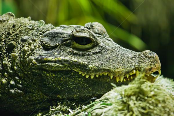 Krokodil schönen Foto groß grünen Stock foto © sailorr