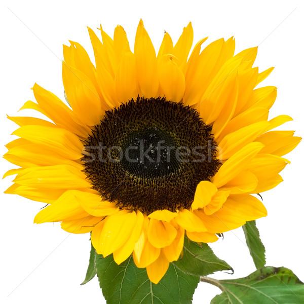 Sunflower Stock photo © sailorr