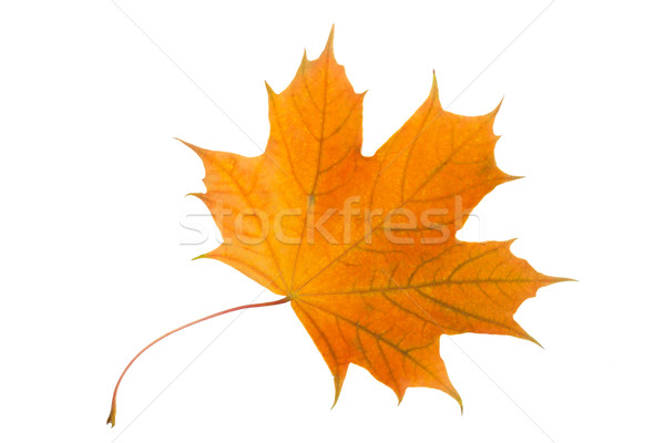 Maple leaf Stock photo © sailorr