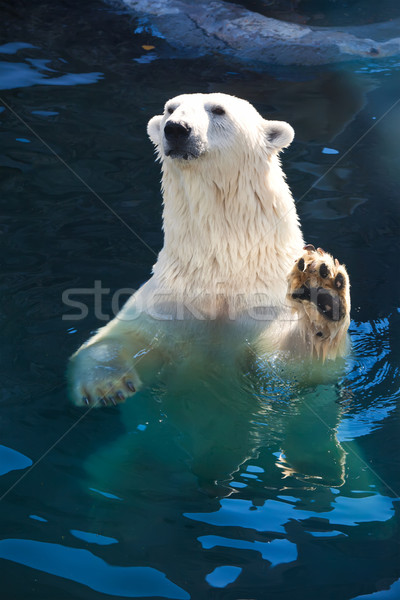 Urso polar bom foto bonitinho branco natureza Foto stock © sailorr