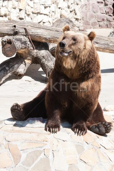 Orso bella foto grande forte orso bruno Foto d'archivio © sailorr