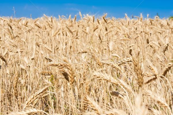 麦畑 美しい 青空 空 太陽 ストックフォト © sailorr
