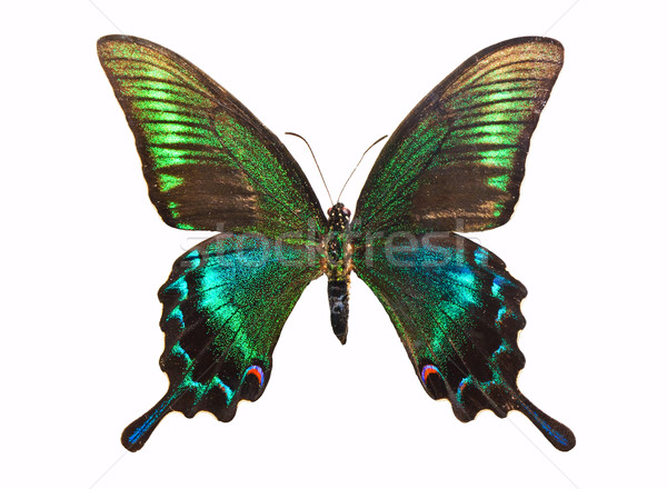 Butterfly Papilio bianor Stock photo © sailorr