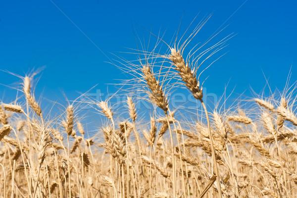Pole pszenicy piękna złoty Błękitne niebo słońce charakter Zdjęcia stock © sailorr