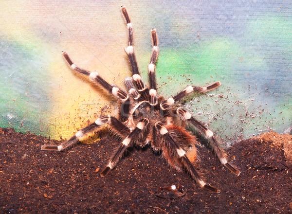Spider красивой макроса фото огромный опасный Сток-фото © sailorr