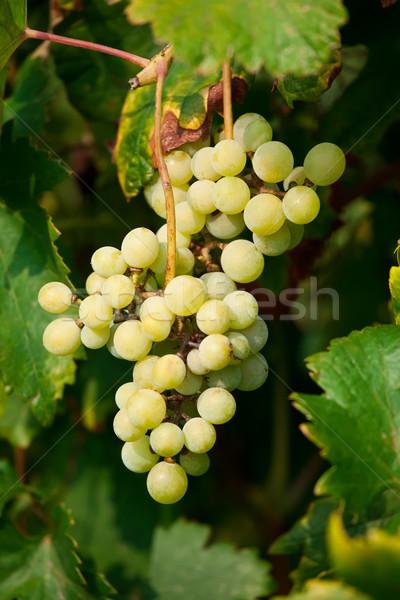 Uvas maduro folhas verdes videira árvore fruto Foto stock © sailorr
