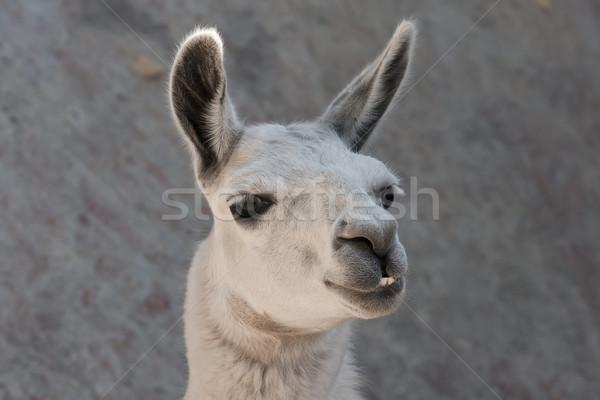 Lama grappig portret dierentuin gezicht Stockfoto © sailorr