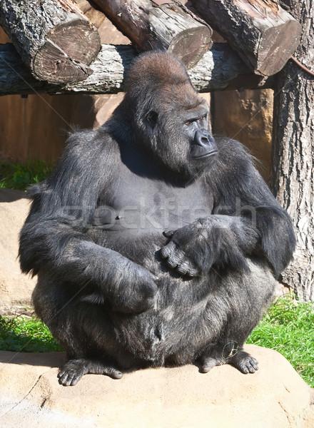 Gorilla mooie foto zwarte afrikaanse dierentuin Stockfoto © sailorr