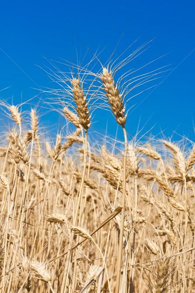 麦畑 美しい 青空 太陽 自然 ストックフォト © sailorr