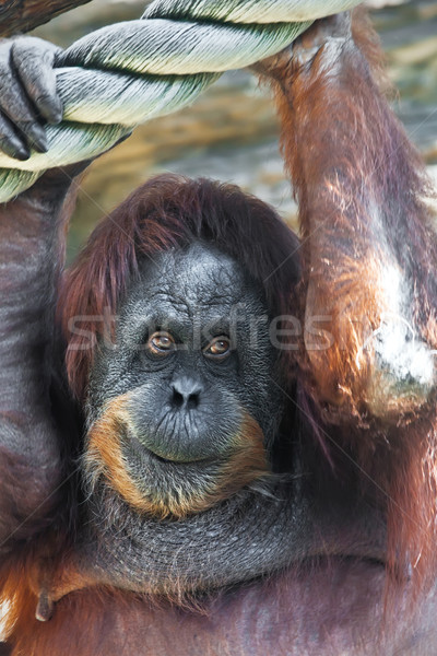 Orangutan Stock photo © sailorr