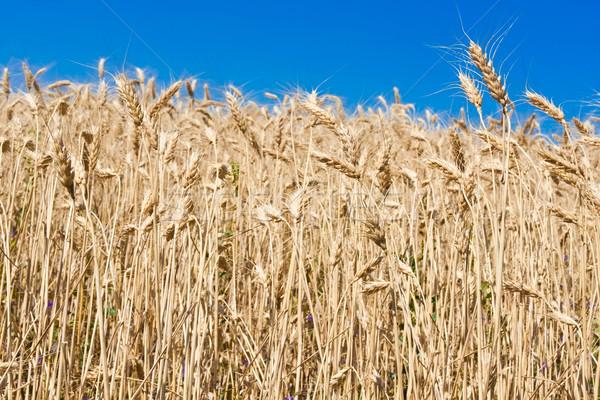 麦畑 美しい 青空 空 風景 ストックフォト © sailorr