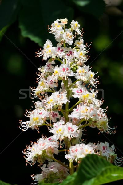 Ippocastano albero fiori bella primavera fiore Foto d'archivio © sailorr