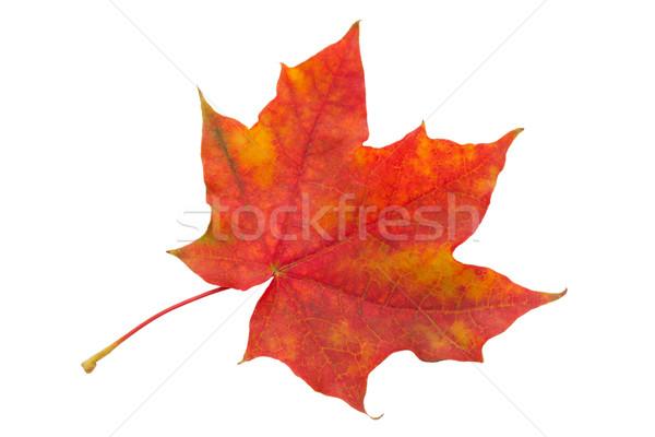 カエデの葉 美しい 孤立した 白 葉 オレンジ ストックフォト © sailorr