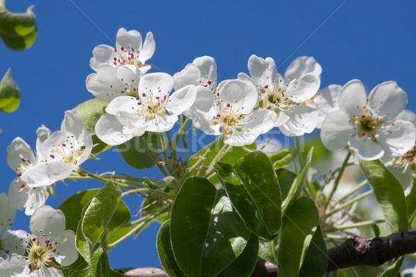 яблоко цветы красивой весны Blossom Вишневое Сток-фото © sailorr