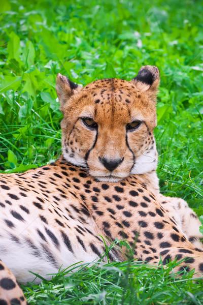 çita güzel portre genç zarif Stok fotoğraf © sailorr